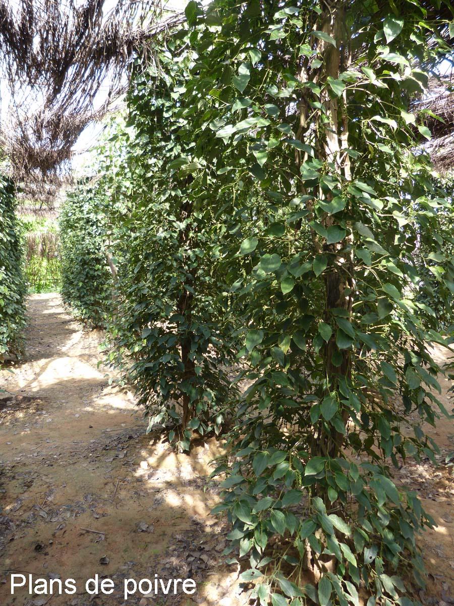 Kampot, le poivre
